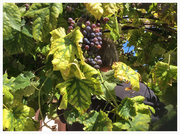One of our grape vines